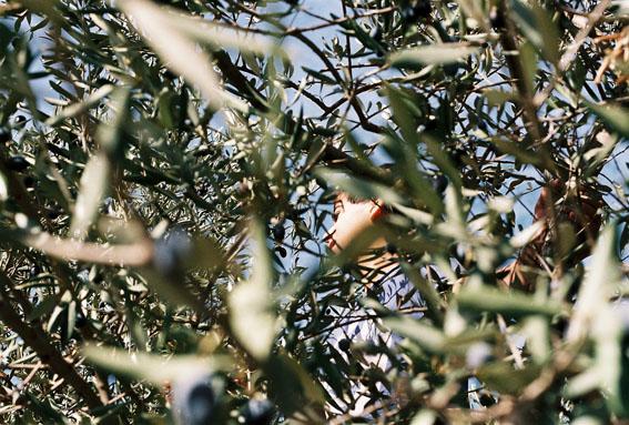 olivepicking02
